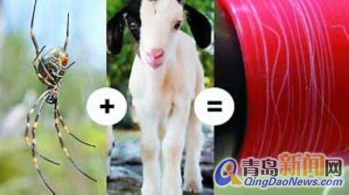 """蜘蛛和羊可产""""丝牛奶""""(图)-青岛新闻网"""