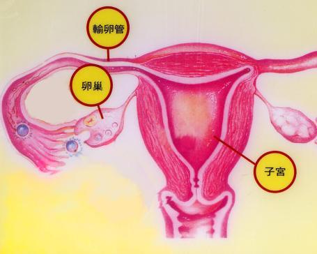 卵巢的组织结构复杂